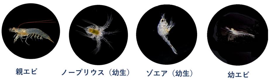 海水エビの変態。ノープリウス、ゾエア