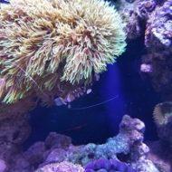 自宅水族館の海のエビ
